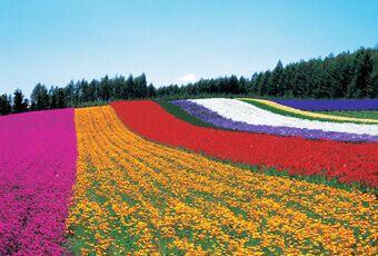 北海道富良野花樂園