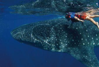 宿霧歐斯陸鯨鯊保育區
