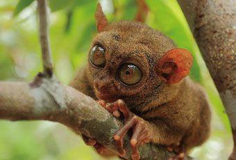宿霧眼鏡猴Tarsier