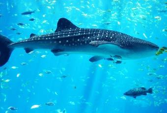 巴拉望野生鯨鯊探索