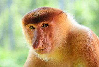 沙巴野生長鼻猴自然生態之旅