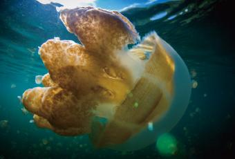 帛琉水母湖 Jellyfish Lake