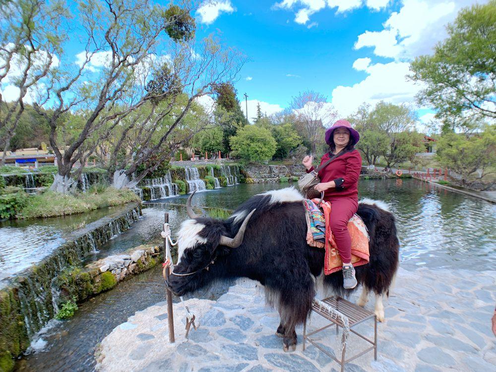 玉龍雪山-玉水寨-牦牛