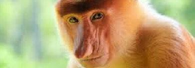 沙巴大鼻子情聖~野生長鼻猴自然生態之旅