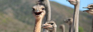 沙巴駝鳥園